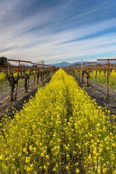 Mustard grass in Sonoma County, California. We've been baking fresh tortillas from beautiful Sonoma County for over 36 years. Sonoma County California, California Dreamin', Northern California, Sonoma Vineyards, Napa Sonoma, Vida Natural, Felder, Future Travel, Wine Country