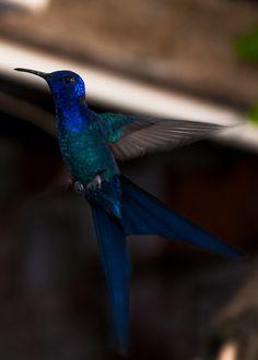 Foto beija-flor-tesoura (Eupetomena macroura) por Evaldo HS Nascimento   Wiki Aves - A Enciclopédia das Aves do Brasil