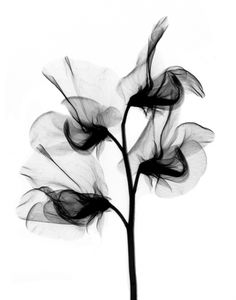 This is a positive X-ray image of a common flower.