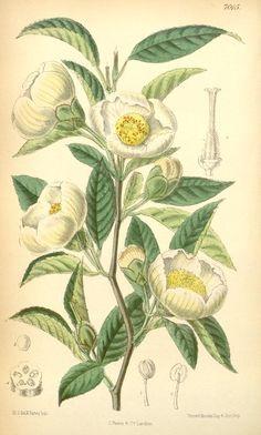 Camellia (1889) - Curtis's botanical magazine. - Biodiversity Heritage Library