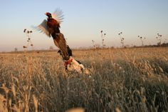 Falcon's Ledge ~ Pheasant Hunting  What is better than a day in the field with great hunting dogs?