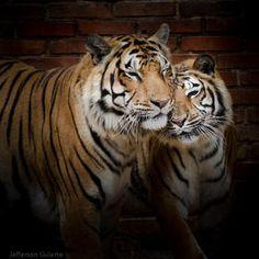 #Tiger #animal #photograph by Jefferson Gularte