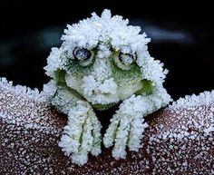 »✿❤Carleen❤✿« The wood frog has garnered attention by biologists over the last century because of its freeze tolerance. Antifreeze-like blood lets frogs freeze and thaw with winter's whims. They endure this annual popsicle phase with help from cryoprotectants, substances circulating in their blood that lower the freezing point of their body fluids