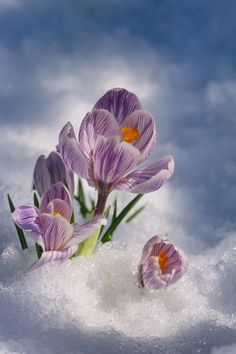 Crocus blossom peeking through snow spring portrait