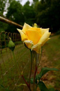 Yellow backyard roses.