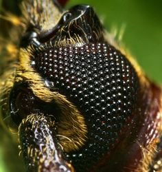 Compound Eye of a Longhorned Beetle