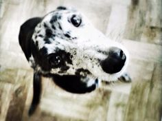 Week 167′s Dogs of the Week is… Rodney! | Welcome #dogoftheweek #lurcher #rodney