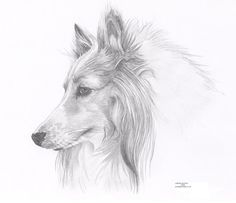 ROUGH COLLIE 1 dog Limited Edition art drawing by ArcadiaPortraits