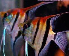 Summary: To start Tropical fish stores can be an exciting prospect. Many tropical and salt water fish lover's dream about how to make it big in this exciting Tropical fish stores business. Tropical Freshwater Fish, Tropical Fish Aquarium, Freshwater Aquarium Fish, Saltwater Aquarium, Aquascaping, Pet Fish, Fish Fish, Aquarium Accessories, Discus Fish