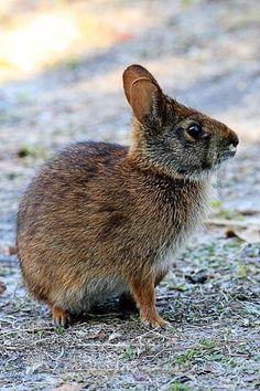 Marsh rabbit.