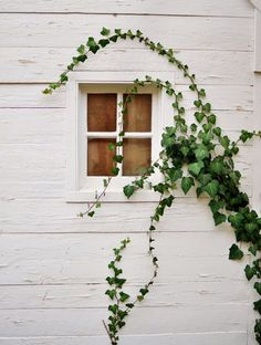 ivy, green, white, cottage, exterior