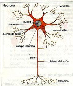 Simple Neuron Diagram School Neurons Neuron Structure Neuron