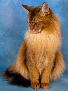 Long Hair Somali Cat Sitting Photo