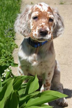 English Setter puppy spaceyhuff