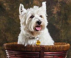 West Heighland White Terrier