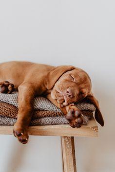 Cute Dogs And Puppies, Baby Dogs, I Love Dogs, Doggies, Vizsla Puppies, Vizsla Dog, Mundo Animal, Primates, Dog Photography