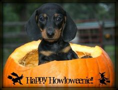 Mini Dachshund - Happy Halloween          Mini Dachshund Puppy