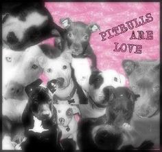 wite pitbulls pictures | white pitbull graphics and comments