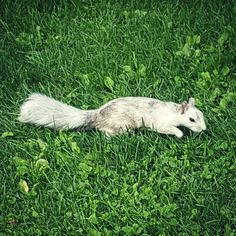 I'm definitely not your typical tourist although I tried to be today when we visited Old Montreal but ended up just taking pictures of wildlife like this grey and white squirrel instead! Tomorrow we're going hiking to find cemetries  . . . #squirrel #whitesquirrel #nature #naturegram #citywildlife #montreal #parklife #naturephotography #notyourtypicaltourist #travel #instatravel #travelgram #thatsdarling #flashesofdelight #seekthesimplicity #theartofslowliving #thehappynow #momentsofmine