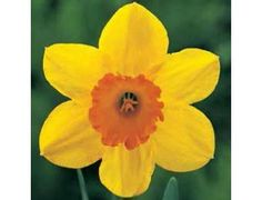 Here is the Scarlett O'Hara Daffodil. It is a Large Cupped Daffodil and is known for their traditional daffodil shape; a large flower on one stem with a large center cup. These daffodils provide the bright cheery spring colors everyone loves so much.