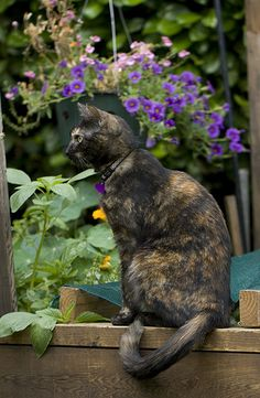 This reminds me of our Jessie Cat... Garden Tortie Profile 4