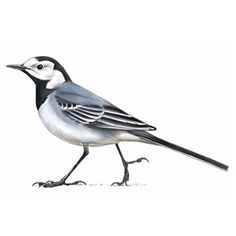 Pied Wagtail The Quad, Christ Church College, Oxford Nature Tattoos, Autumn Art, I Tattoo, Animals And Pets, Watercolor Paintings, Body Art, Wildlife, Birds, Drawings
