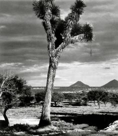Paul Strand  Joshua tree reminds me of SoCal desrts