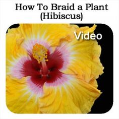 How To Braid A Plant Hibiscus: Video - Plant Care Today