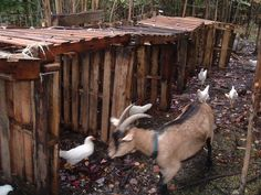 Goats and chickens pallette houses