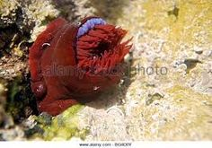 Image result for new zealand red beadlet anemone