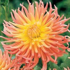 Alfred  Grille Bright Cactus Dahlia