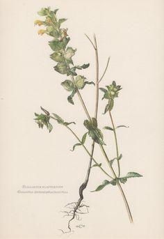 Vintage Botanical Print Rhinanthus by AntiquePrintGarden on Etsy
