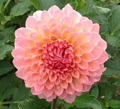 Barbarry Dominion - This dahlia is classified as a light pink with a light orange blend. It looks more like a peach color. A nice for any bouquet or arrangement.