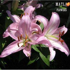 Сажаем и выкапываем лилии 442