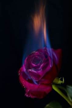 Burning Rose Burning Rose Burning Rose Source By Burning Rose Burning Rose Burning Flowers, Burning Rose, Aesthetic Backgrounds, Aesthetic Iphone Wallpaper, Aesthetic Wallpapers, Hd Backgrounds, Rose On Fire, Wallpaper Telephone, Photo Rose