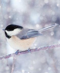 Chickadee in the snow.