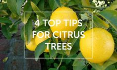 4 Top tips for citrus trees Citrus Trees, Growing Veggies, Fruit Garden, Mango, Home And Garden, Articles, Tips, Flowers, Manga