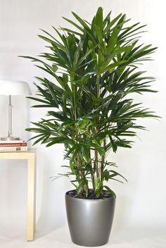 Rhapis ou palmier