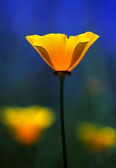 California Poppy | Photographic Print