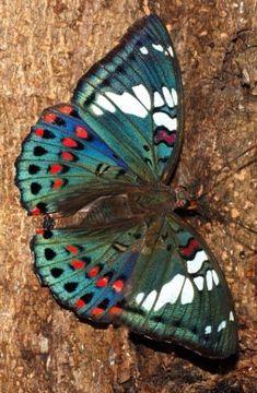 Gaudy Baron - Euthalia lubentina - Mumbai, India, by Isaac Kehimkar, so pretty Butterfly Effect, Butterfly Kisses, Butterfly Wings, Dragonfly Wings, Green Butterfly, Beautiful Creatures, Animals Beautiful, Cute Animals, Beautiful Bugs