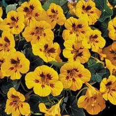"Ladybird Nasturtium - Eye-catching orange-yellow flowers with bright red central markings. Edible flowers, like all other nasturtiums. Dwarf plants are ideal for container gardening, but will also thrive in normal garden conditions. Hardy annual, 8-10"" tall."