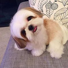 Shih Tzus are true companion dogs. Bred for centuries to be man's best friend, it is no wonder that Shih Tzu puppies are amongst the most popular of toy breeds.