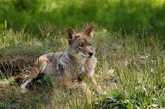 Coyote by flipkeat, via Flickr