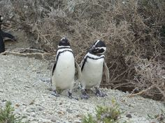 Walking with penguins  Two excursions will allow you to appreciate in a complete way this privileged place in our Atlantic Patagonia:  - A visit to Península de Valdés, an amazing Patagonia Flora and Fauna reservation at its purest state. It is cosidered a World Heritage site by UNESCO.   - A visit to Punta Tombo, the biggest Magellan penguins site in the whole continent. It is possible to literally walk by their side along shore paths, their natural habitat.