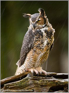 Great Horned Owl, Bubo Virginianus, United States, Europe and Asia, lives in forests. I ranges from the Arctic to South America except the Amazon rainforest. It is a powerful predator with mottled brown feathers and is about 2 feet in length. Females have wing spans of about 6.6 feet.