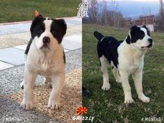 GRIZZLY [ALABAI] FROM MACEDONIA Alabai Dog, Anatolian Shepherd, Dogs 101, Working Dogs, Macedonia, Bullies, Akita, Shepherd Dog, Big Dogs