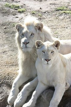 Albino lion and lioness ~ beautiful. The Animals, Baby Animals, Wild Animals, Animals Planet, Cutest Animals, Beautiful Cats, Animals Beautiful, Beautiful Pictures, Beautiful Couple