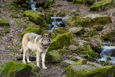 By Ralf Seelert Photography Beautiful Wolves, Beautiful Dogs, Animals Beautiful, Wolf Images, Wolf Life, Howl At The Moon, Wolf Spirit, Art Story, Animal Kingdom