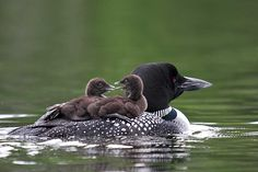 Common Loon – Naturally Curious with Mary Holland Great Gifts For Guys, On Golden Pond, Best Places To Live, Backyard Birds, Sea Birds, Body Heat, Maine, Wildlife, Nature