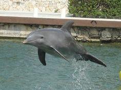 Dreams Puerto Aventuras Resort & Spa All Inclusive: One of the fantastic dolphins